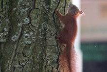 Close-up Of Squirrel Climbing Tree