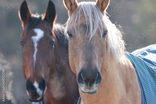portrait of two horses