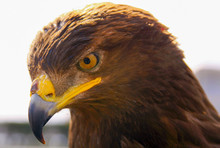 Eagle Portrait Head Looking Do...