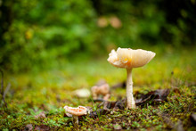Wild Mushroom In Mossy Forest ...
