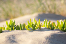 Close Up Of Succulent Growing In Sand Dunes.