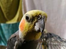 Close-up Portrait Of Cockatiel