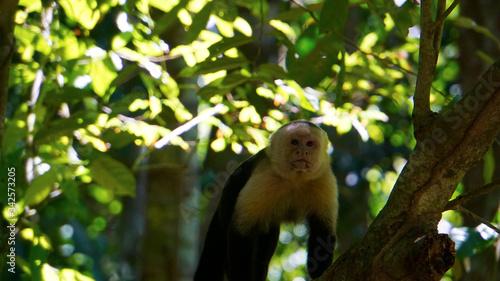 White-Faced Capuchin Billede på lærred