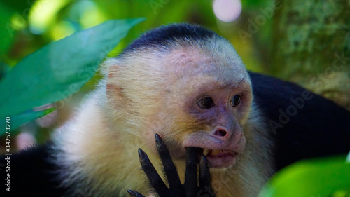 Fotografija White-Faced Capuchin
