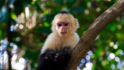 White-Faced Capuchin Slika na platnu