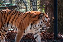 Tiger Roaming In Its Enclosure...