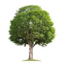 Big Tree Isolate On White Back...