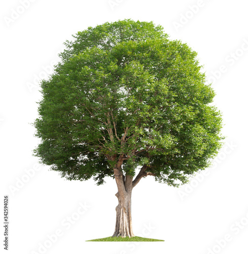 big tree isolate on white background Canvas Print