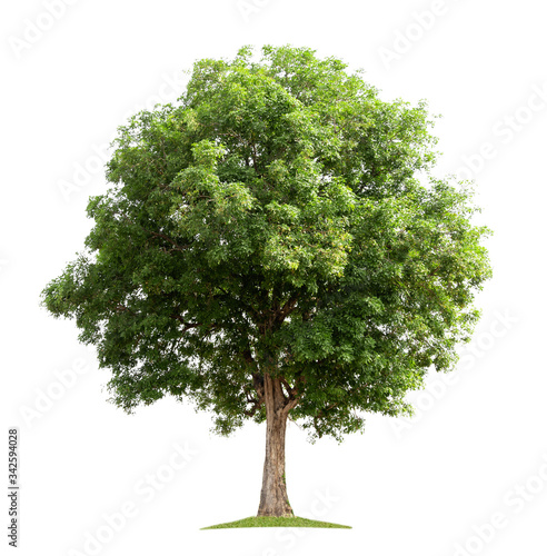 big tree isolate on white background