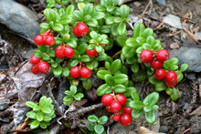 A Lingonberry Plant (Vaccinium Vitis-idaea) With Bright Red Berries.