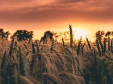 Close-up Of Wheat Field Against Sky During Sunset
