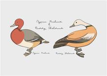 Vector Illustration Of Duck / Bird, Nyroca Pochard And Ruddy Shelduck