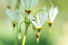 White Dodecatheon Meadia Alba ...