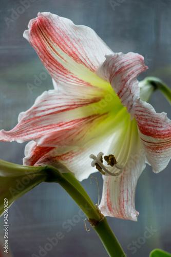 white and red amaryllis flower on window background Canvas Print