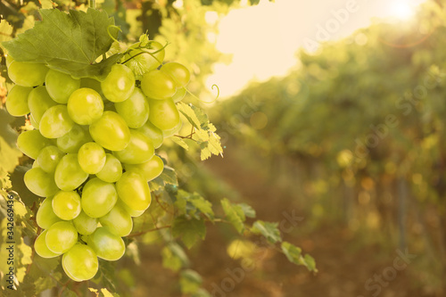 Fototapeta Fresh ripe juicy grapes growing on branches in vineyard, space for text obraz