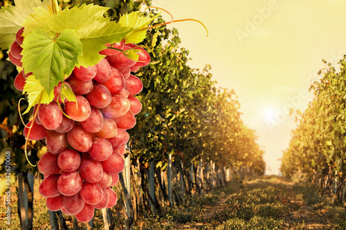 Fotografía Fresh ripe juicy grapes growing on branches in vineyard, space for text