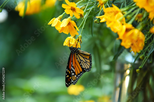 Monarch Butterfly on yellow flowers Wallpaper Mural