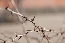Thorns On A Bush, Looks Very V...