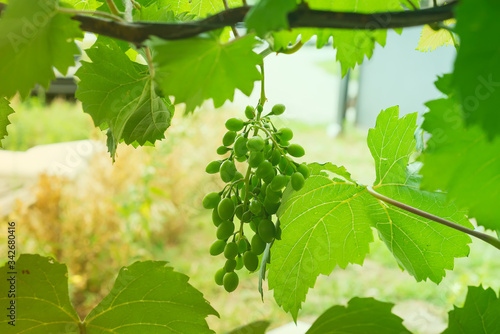 Leinwand Poster Green bunch of grapes hanging in the middle of leaves frame against blurred background