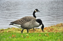 Two Canadian Geese On The Lake...