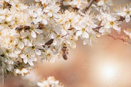 Fotografie, Tablou Prunus spinosa, called blackthorn or sloe tree blooming in the springtime, bee p