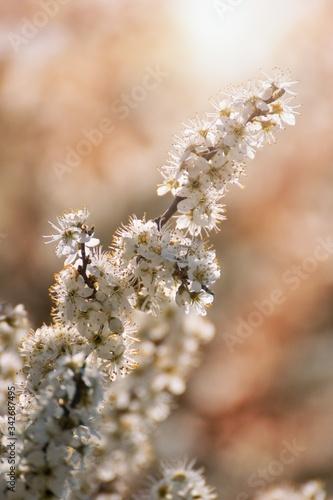 Prunus spinosa, called blackthorn or sloe tree blooming in the springtime Tablou Canvas