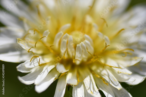 Photo シロバナタンポポは漢字で白花蒲公英、日本固有種で西日本に多い。