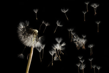Dandelion seeds blowing in the wind on a black background