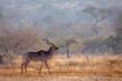 canvas print picture Greater kudu male in savannah scenery in Kruger National park, South Africa ; Specie Tragelaphus strepsiceros family of Bovidae