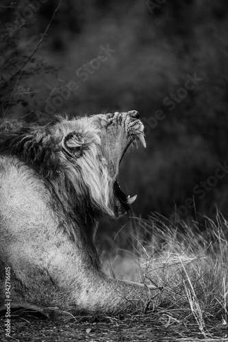 Fototapeta African lion male portrait yawning in Kruger National park, South Africa ; Specie Panthera leo family of Felidae obraz na płótnie