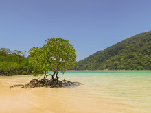 Beautiful Mangrove Tree On The...