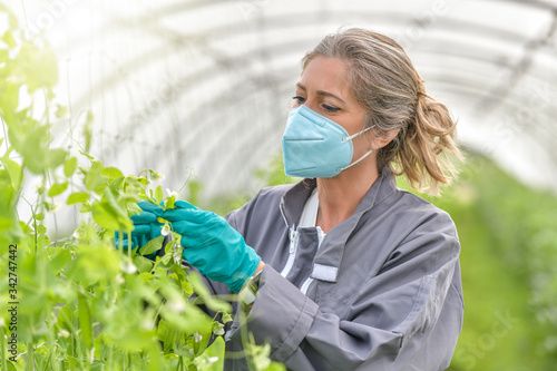 Fototapeta Female agronome checking the plants in a greenhouse and wearing a protective mask against covid-19 obraz