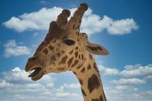 Giraffe Head Blue Sky Behind