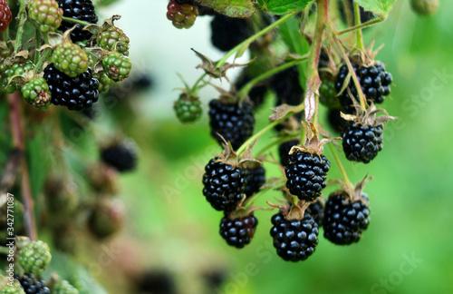 Photo Blackberries on a green branch