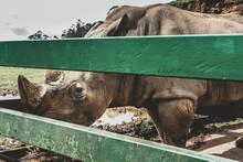 Captive Rhinoceros