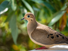 Mourning Dove On A Railing