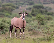 One Gemsbok With Long,straight Horns Walking In The Lush Green Veld Of Mokala National Park, South Africa
