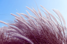 Imperata Cylindrica Beauv Gras...