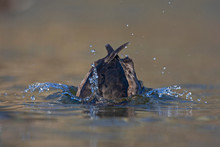 A Female Tufted Duck Diving In...