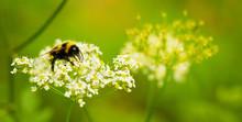 Bumblebee Close Up In Its Natu...