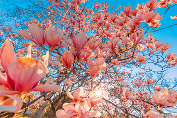 Obraz na Szkle Do sypialni Spring nature, sun rays, uplifting happy view. Perfect nature background for spring or summer background. Pink magnolia flowers and soft blue sky as relaxing moody closeup