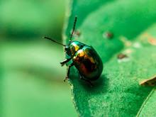 Dogbane Beetle On Green Leaf Background