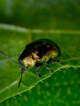 Dogbane Beetle On Green Leaf B...