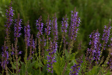 Beautiful Blue Mealy Cup Sage Blooms In A Garded Of Green