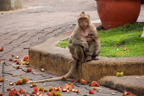 Affectionate monkey with his little cub in Lopburi Canvas Print