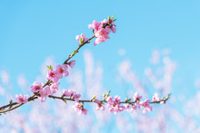 Pink Peach Flowers On Twigs On...