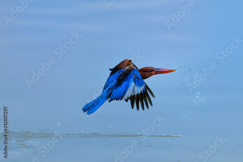 Fotografía White-throated Kingfisher Halcyon smyrnensis flying above the blue water, known