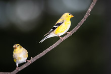 Pair Of American Goldfinch Perched In A Tree