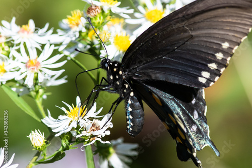 Spicebush Swallowtail Butterfly Sipping Nectar from the Accommodating Flower Canvas Print