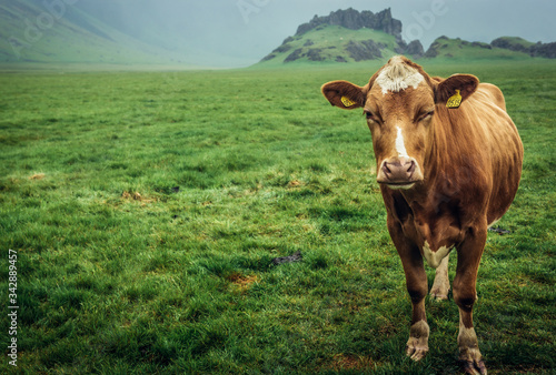 Single cow on a grazing land in southern part of Iceland Canvas Print